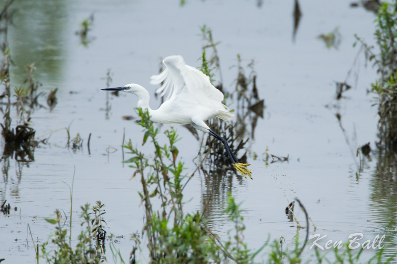 Andrew Haydon Park, little egret: Egretta garzetta<br /> This rare bird for Ottawa doesn't stay to feed in one area very long and often changes feeding locations at least daily in the greater western Ottawa area.