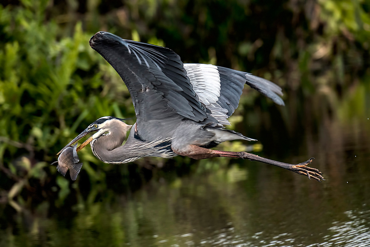 Tilapia captured by a Great Blue Heron   #1512