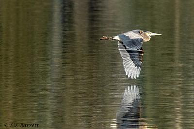 0U2A1970_Heron