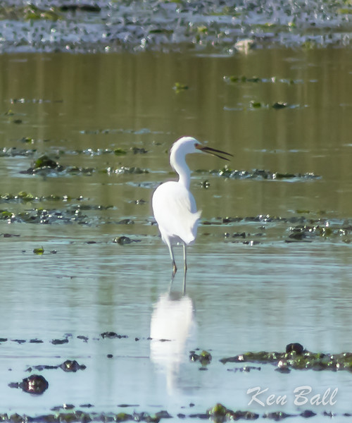 Connecticut, Milford Point, snowy egret: Egretta thula