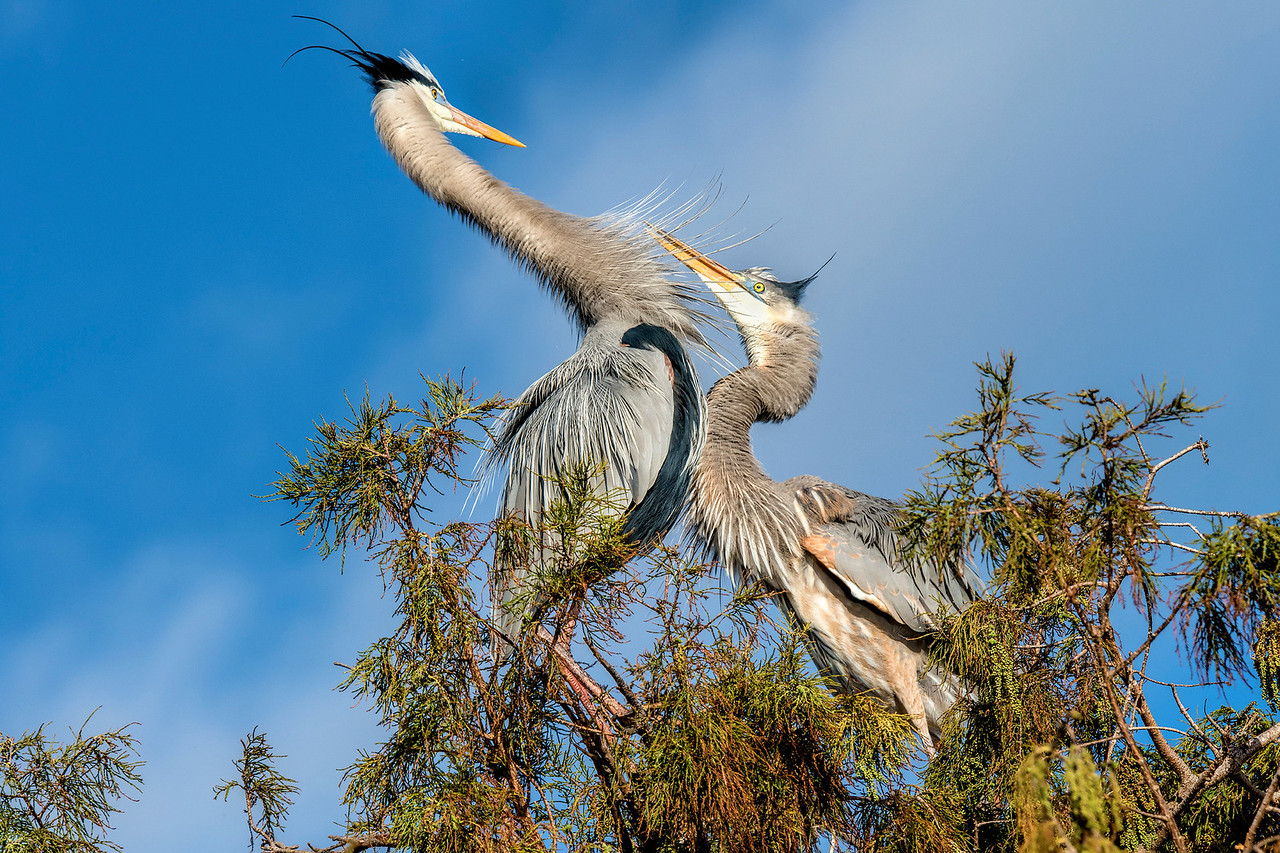 Great Blue Herons   #1075