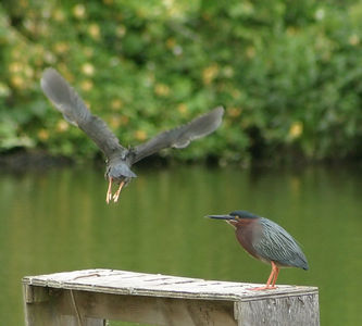 "Taken with my Cheap Sigma 70-300DL Lens. ""Green Herons"" OOPS! I caught one takin off. Haha! I must have scared it."