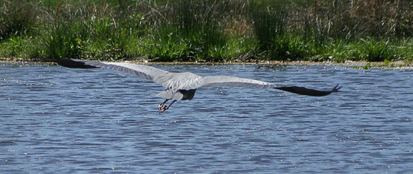 "Taken with my Cheap Sigma 70-300DL Lens. ""Great Blue Heron"" Here I caught it flying away."