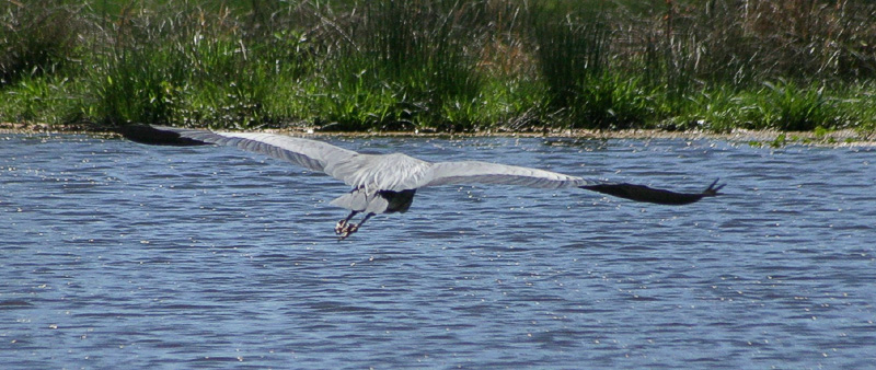 """Taken with my Cheap Sigma 70-300DL Lens. """"Great Blue Heron"""" Here I caught it flying away."""