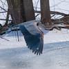 great blue heron: Ardea herodias, Petrie Island
