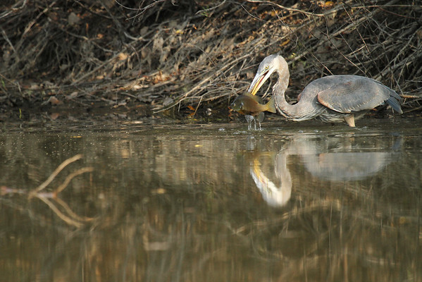 Great Blue Heron With Fish #2 (Ardea herodias)