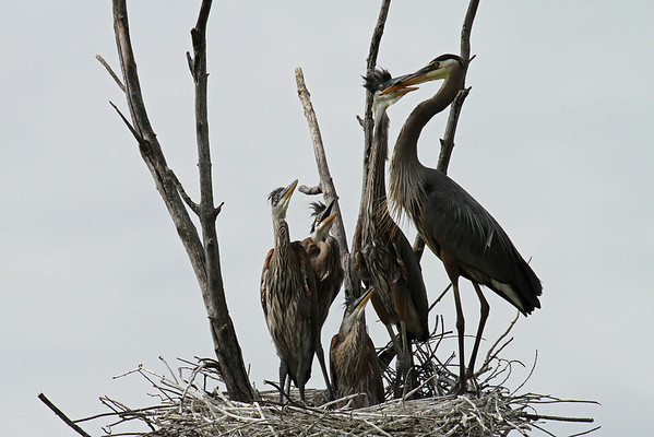 Great Blue Heron Parent Feeding Young (Ardea herodias)