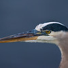 Great Blue Heron  #1523