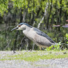 black-crowned night-heron: Nycticorax nycticorax, Ottawa--Britannia Conservation Area (Britannia Ridge)