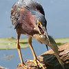 green heron: Butorides virescens, Petrie Island<br /> The heron had to play around with this fish for a while before it got the fishes' head aligned with its throat to swallow it.