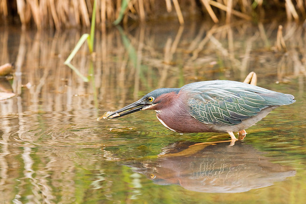 Green Heron With Minnow #2 (Butorides virescens)