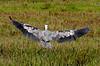 Great Blue Heron (Landing).