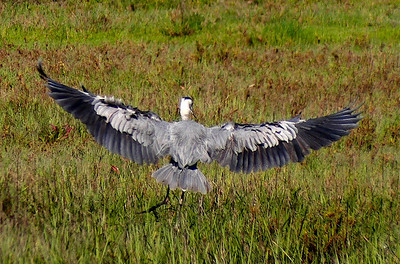 Great Blue Heron (Landing).