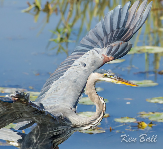 Andrew Haydon Park, great blue heron: Ardea herodias