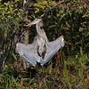 drying, great blue heron: Ardea herodias, Mud Lake