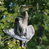 great blue heron: Ardea herodias, Petrie Island<br /> It looks like this Great Blue Heron at Petrie Island is preparing to sing it's first opera note,  however, it just came out as a squawk.