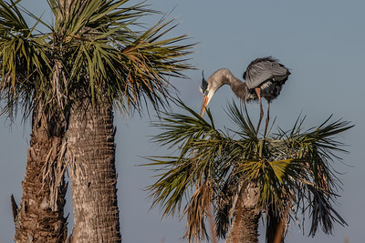 Great Blue Heron on Cabbage Palm