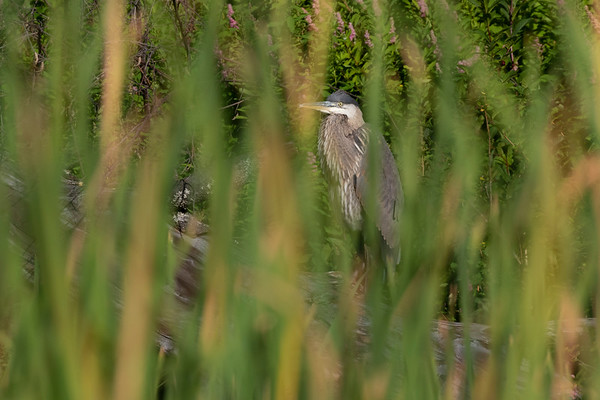 0U2A3571_Blue Heron