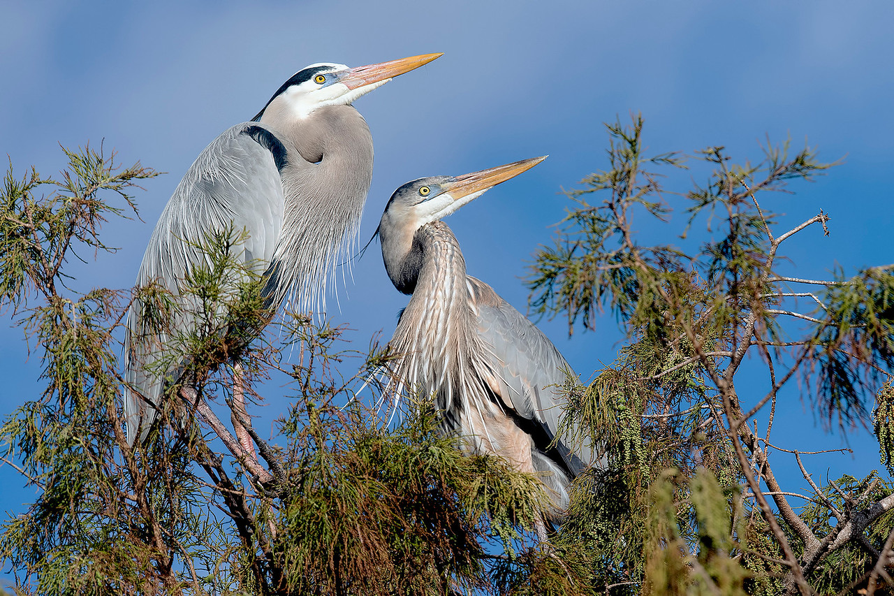 Great Blue Herons #1076