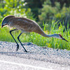 Ontario, sandhill crane: Grus canadensis