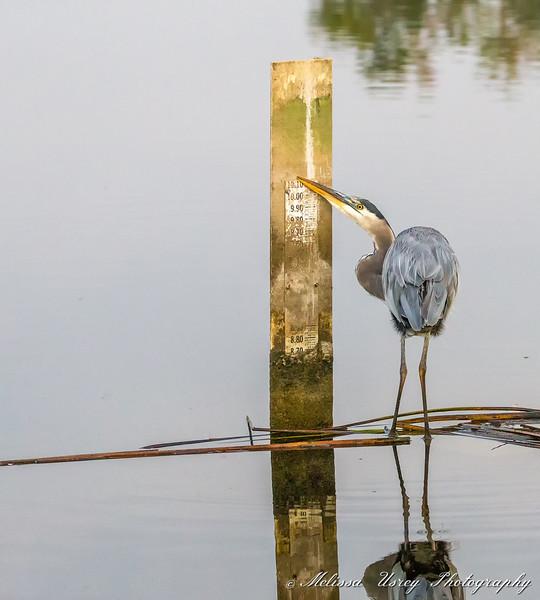 Great Blue Heron at sunrise feaking
