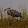 Algonquin Provincial Park, great blue heron: Ardea herodias