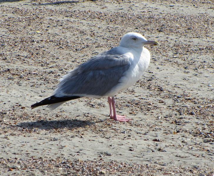 Herring Gull (breeding)<br /> Tybee Island