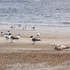 Foreground (on the right):  Herring Gull  (second winter)<br /> Background:  Sandwich Terns, Royal Terns and Laughing Gulls