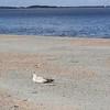 Herring Gull (second winter)