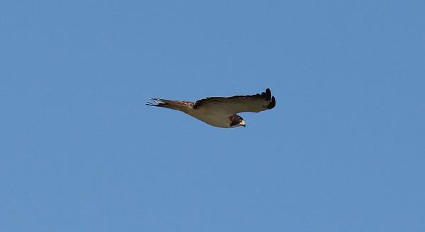 Hiirihaukat (Buzzards)