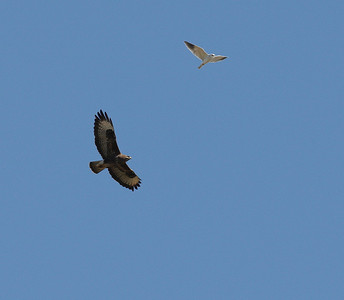 19.2.2012 Castro Verde, Portugal  With Black-shouldered Kite