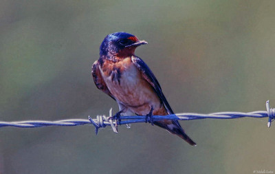 Barn Swallow (juvenile male)