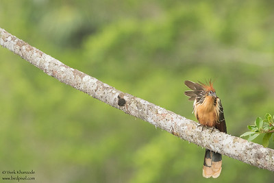 Hoatzin - Amazon, Ecuador