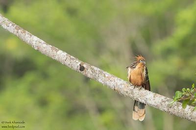 Hoatzin - Amazon, Ecuador