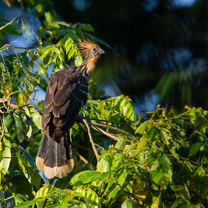 Hoatzin - Amazonia Lodge, Nr. Manu National Park, Peru