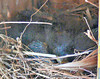 Bluebird Babies at about ten days old