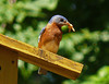 Eastern Bluebird with Mealworms