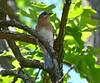 Female Bluebird keeping a close eye on things