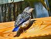Fledgling Male Bluebird
