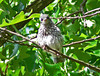 Female Fledgling Bluebird