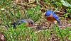 Eastern Bluebirds scoop up mealworms