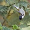 Black-headed Honeyeater_D Stowe_1384