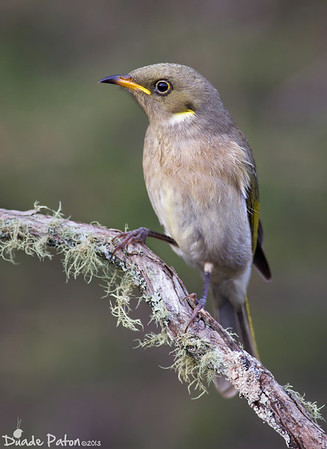 Fuscous Honeyeater