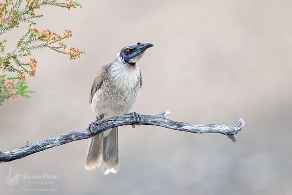 Noisy Friarbird