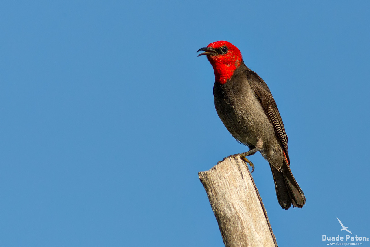 Red-headed Honeyeater
