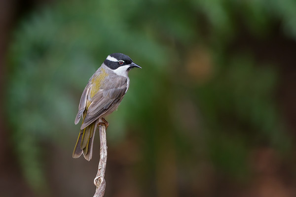 Strong-billed Honeyeater_DStowe_8583