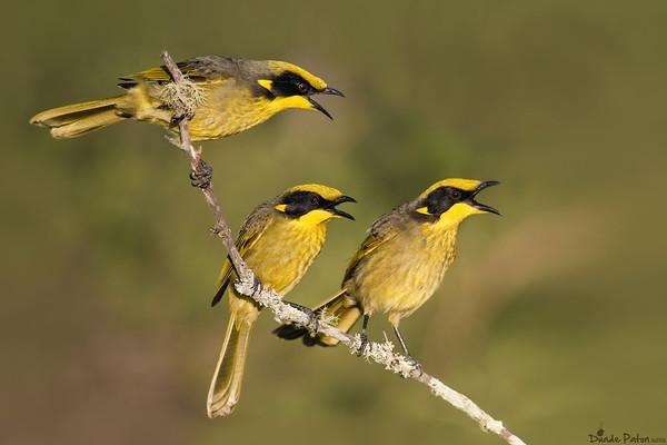Yellow-tufted Honeyeater - Three Amigos