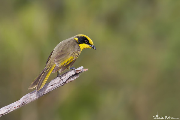 Yellow-tufted Honeyeater