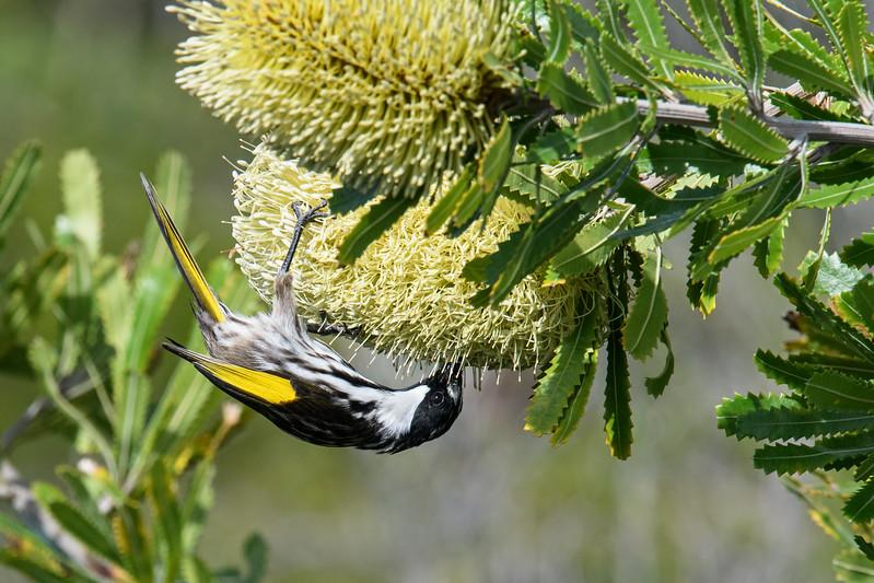 White-cheeked Honeyeater (Phylidonyris nigra)