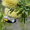 White-cheeked Honeyeater (Phylidonyris nigra)
